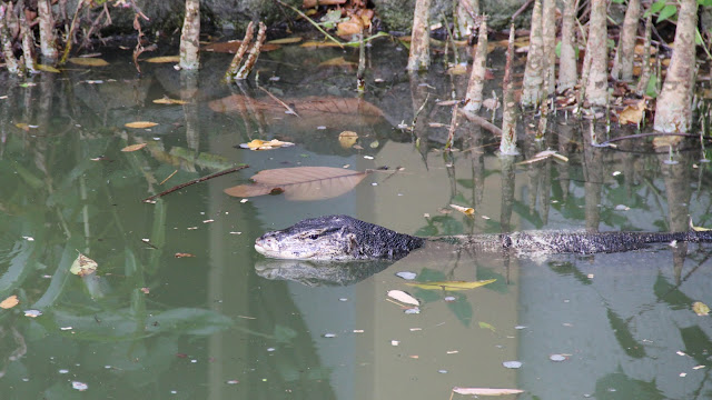 monitor lizard at Sungei Buloh
