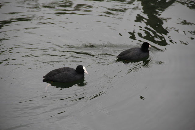 Eurasian coot : camera critters 22