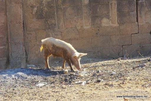 De nombreux cochons se promènent dans les rues