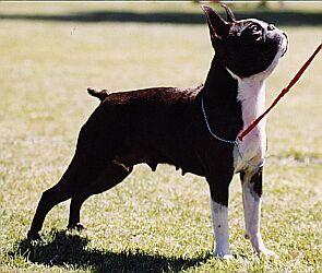 Boston terrier breeder new zealand