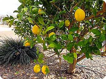lemons-tree