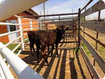 11-cows