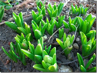 spring flowers 2010 019
