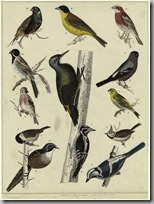 Audubon birds3