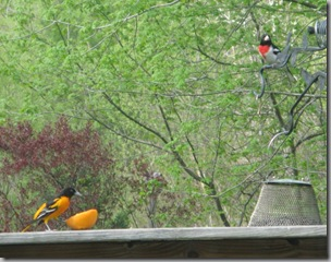 Oriole and Grosbeak