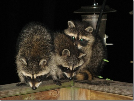 Raccoon babies