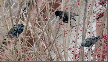 Starlings Eating Berries Closeup