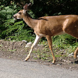 Another deer crossing the road