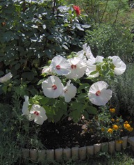 Picture of Hibiskus moscheutos