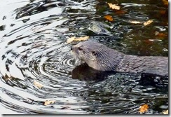 tn_Otter in pond 3SLC