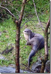 tn_Scratching otter SLC