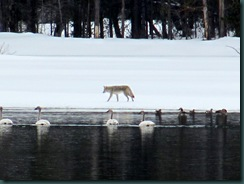 8.Coyote.Oxbow.Bend.Teton.NP.04.25.11