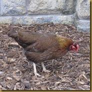 Chickens 222