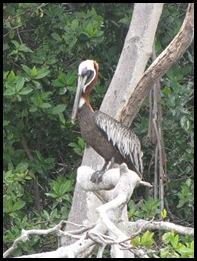 Pelican brun_adulte en plumage nuptial
