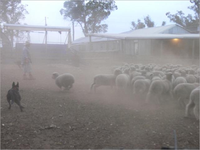 lambs yard