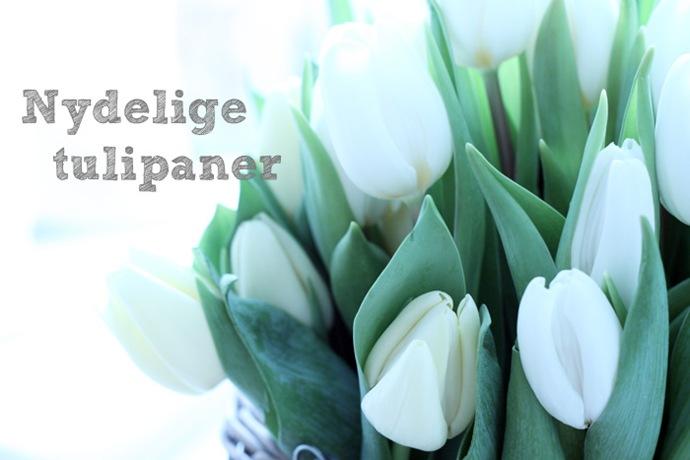 Nydelige tulipaner5
