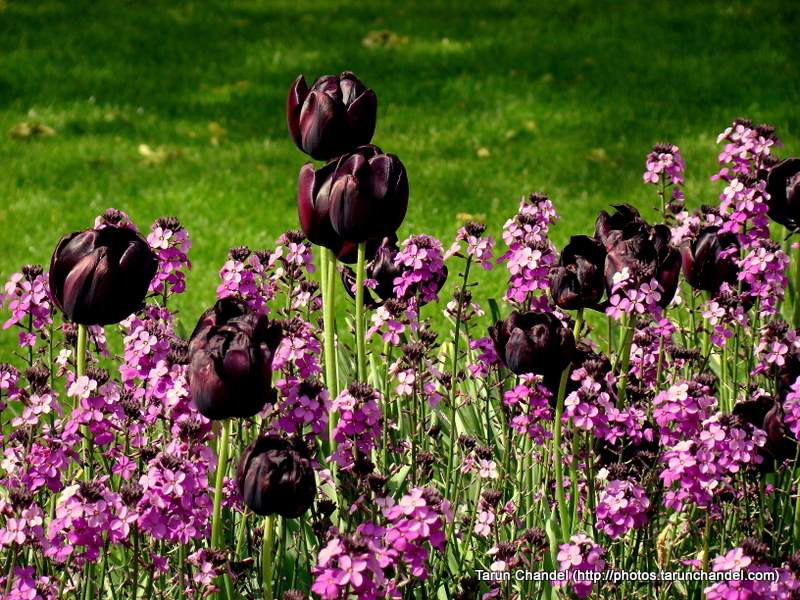 Dark Tulips London UK, Tarun Chandel Photoblog