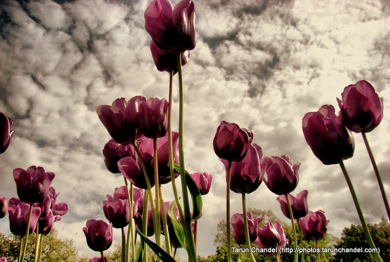 Dark Purple Tulips London UK, Tarun Chandel Photoblog