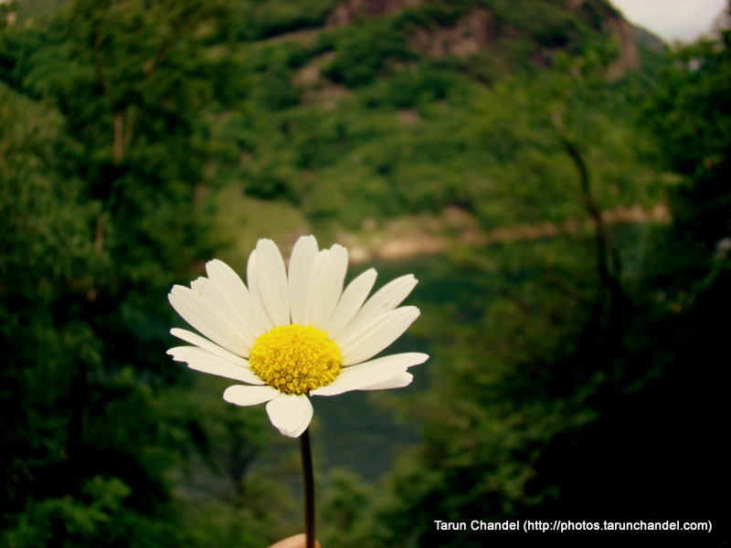 Sunflower Ticino River Verzasca Valley Locarno Switzerland, Tarun Chandel Photoblog