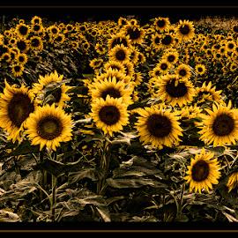 New Age Sunflowers by Darleen Stry - Digital Art Things ( field, grunge, hdr, seed, art, canvas, sunflower, digiital, flower )