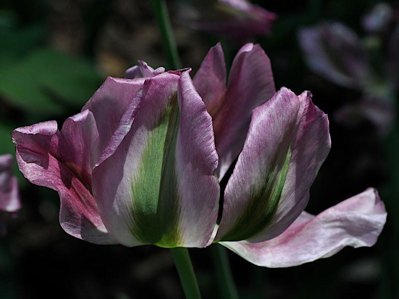 multicolor tulip blossom