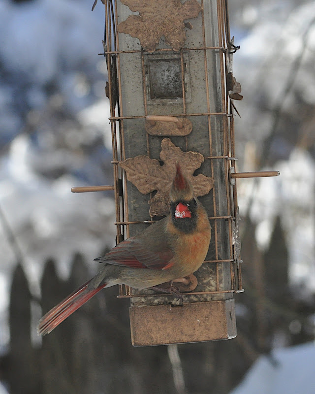 female cardinal at feeder