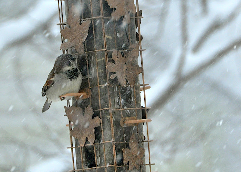 sparrow at feeder in snowstorm