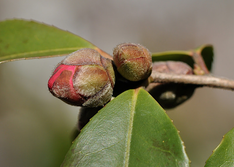 red camellia in bud