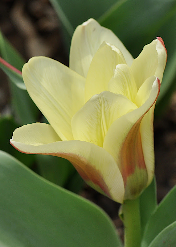 creamy bi-color tulip
