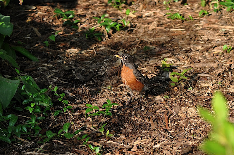 red robin in garden