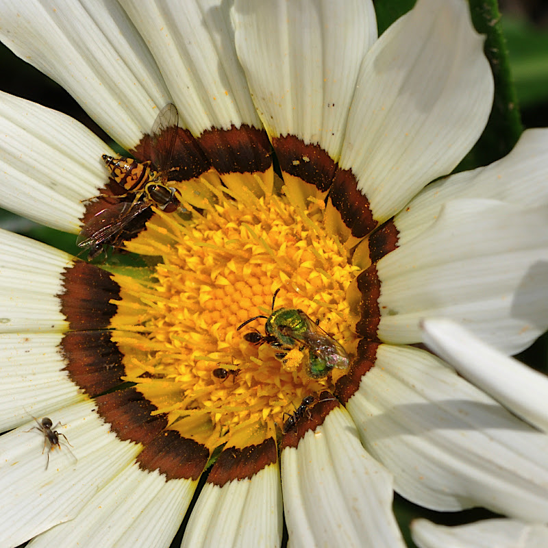 ants, sweat bee and hoverfly in Gazania