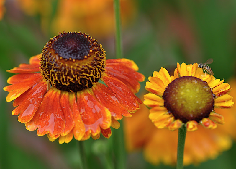Helenium Mardi Gras with hoverfly
