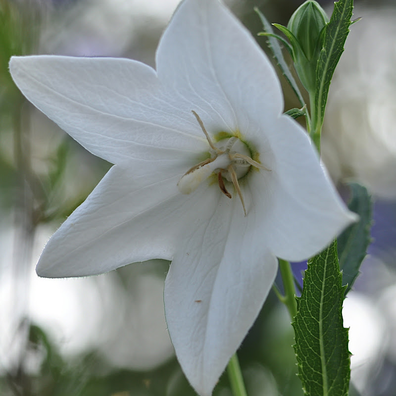white balloon flower