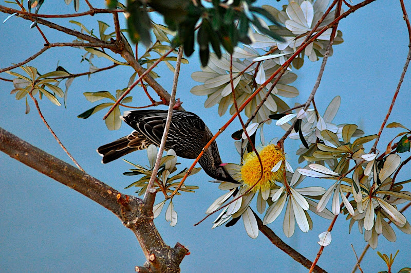 wattle bird in banksia tree