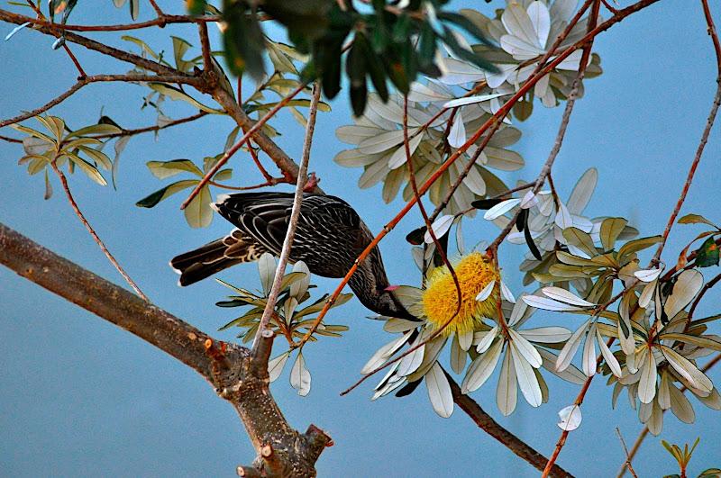 wattle bird in banksia tree