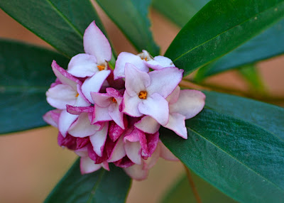 rhododendron type flower