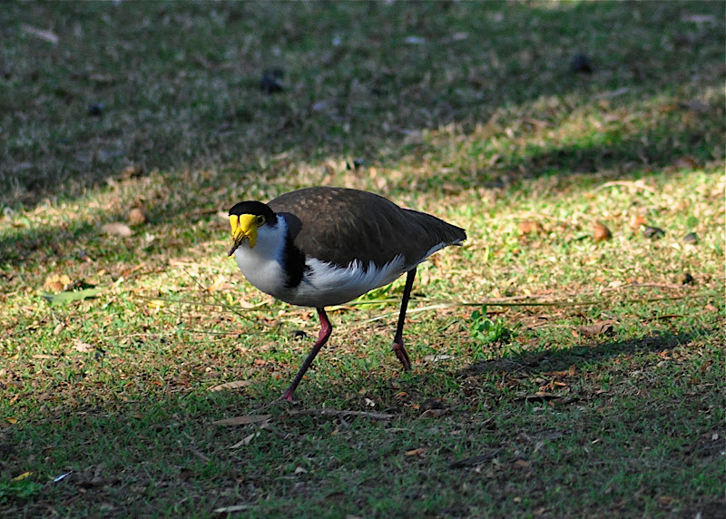 Plover (AU), Lapwing (NZ)