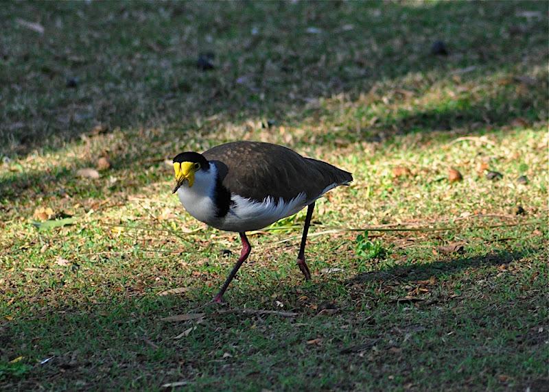 Plover (AU), Lapwing (NZ)