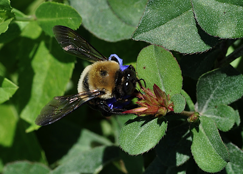 bumble-bee gathering pollen in Plumbago larpentae