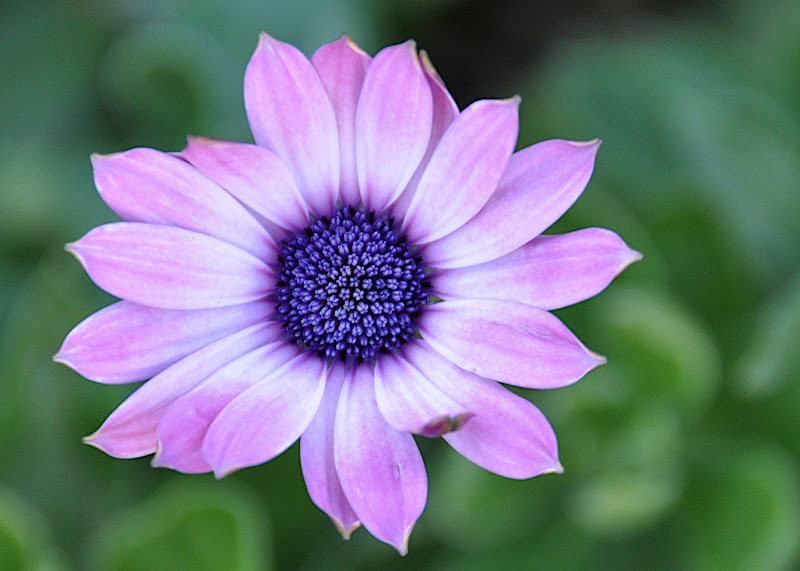 pale purple African Daisy blossom