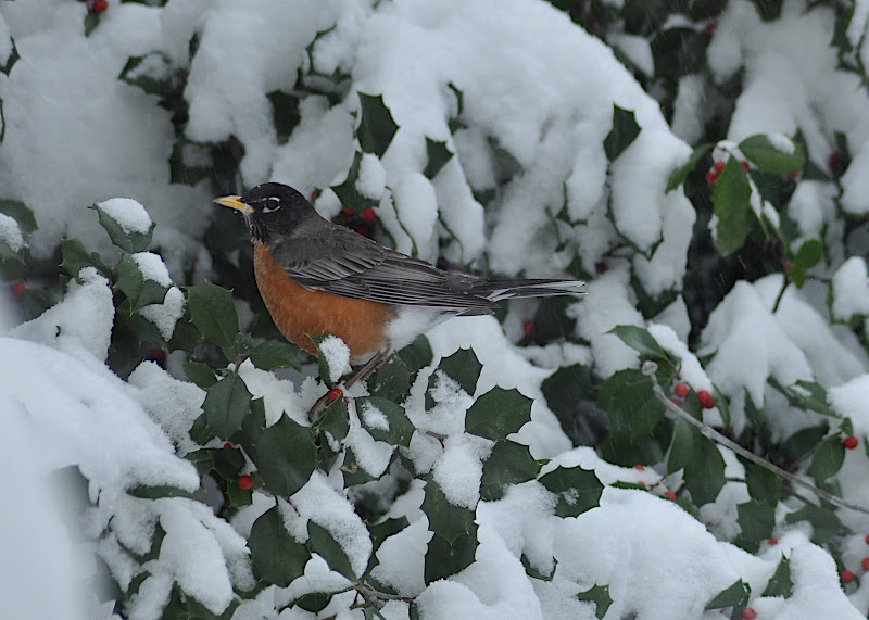 robin in holly tree on a snowy day
