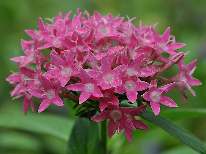 Pentas cluster in full bloom