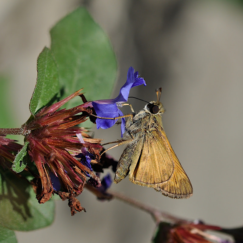 skipper pulling out of flower