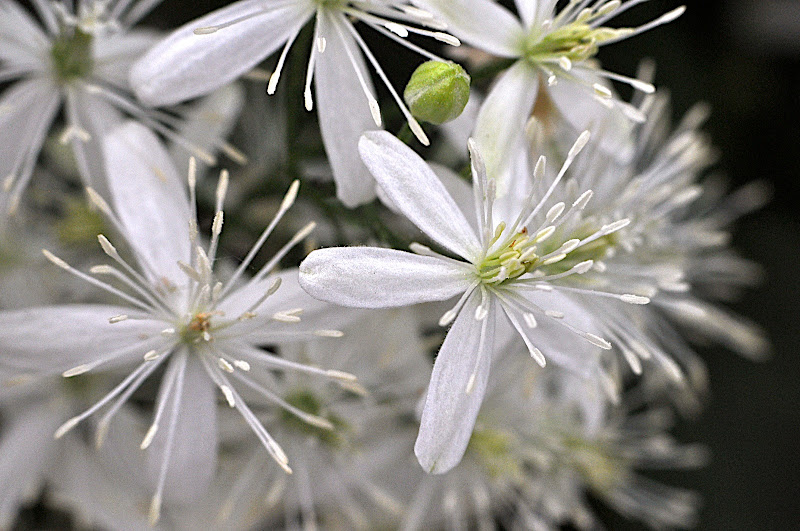 white wild clematis blossoms