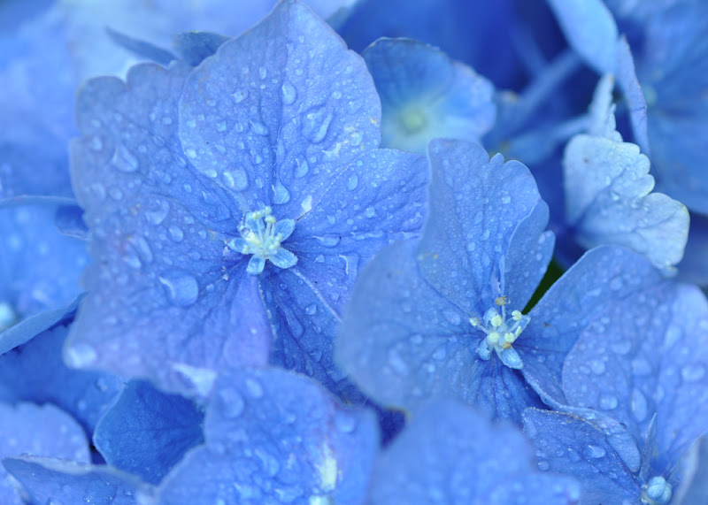 raindrops on Hydrangea blossoms
