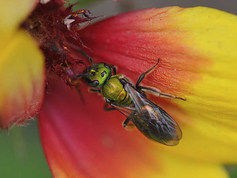 sweat bee in blanket flower
