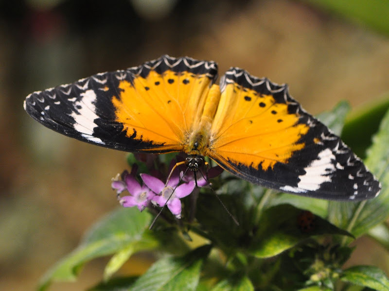 Top view of Leopard Lacewing