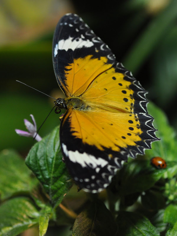 Leopard Lacewing with proboscis curled