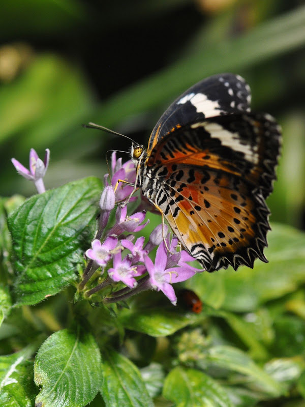 Leopard Lacewing, wings folded
