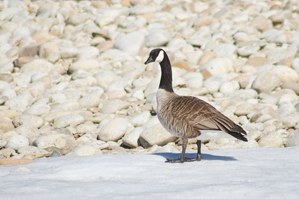 Canada-goose-checking-me-out